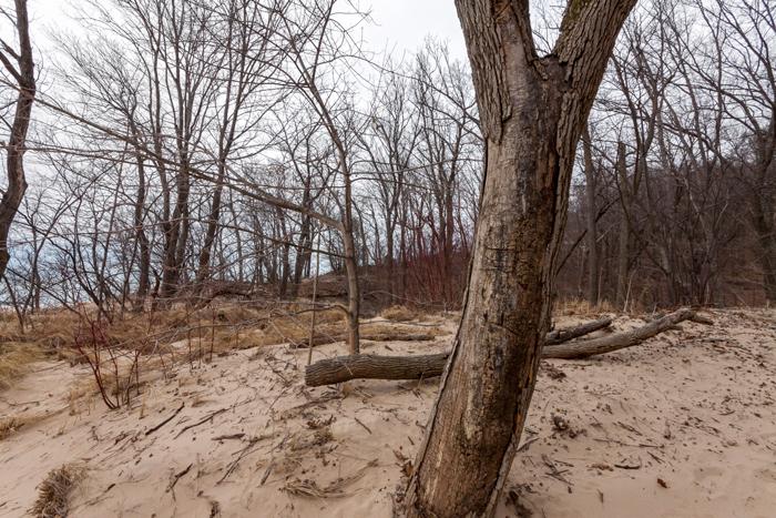 dunes-tree-700